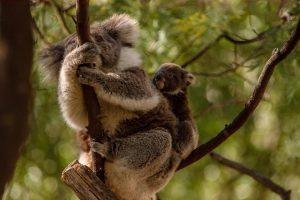 Tidbinbilla Koalas 300x200