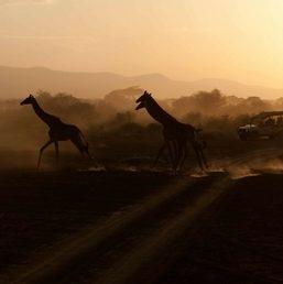 Lorna Safaris Giraffes