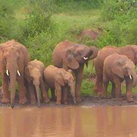 Tembe elephants