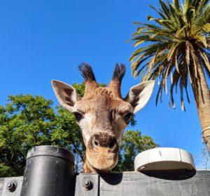 AdelaideZoo giraffe 300x279