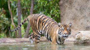AdelaideZoo tiger 300x167
