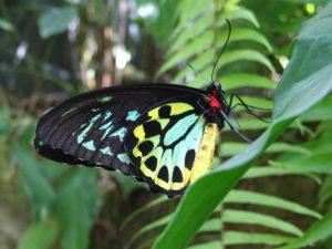 Australian Butterfly Sanctuary Cairns Birdwing 6 1 300x225