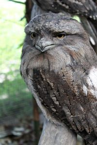 cairns zoom wildlife dome tawny frogmouth 200x300