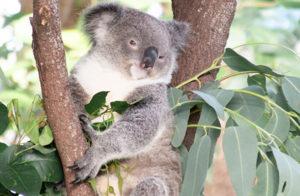 koala at wildlife habitat port douglas 300x196